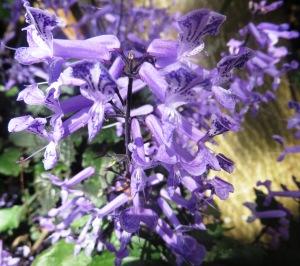 Mona Lavender2