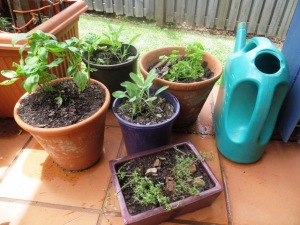 A collection of newly-potted herbs on a sunny patio