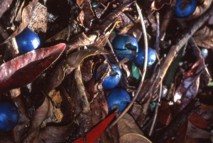 The blue fruits and red fallen leaves of the blue Quandong lie thick on the ground