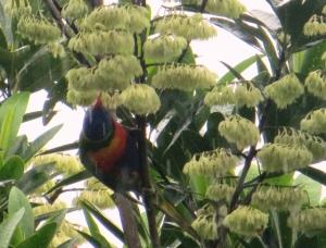 This Rainbow Lorikeet tucks into some Blue Quandong nectar despite the rain