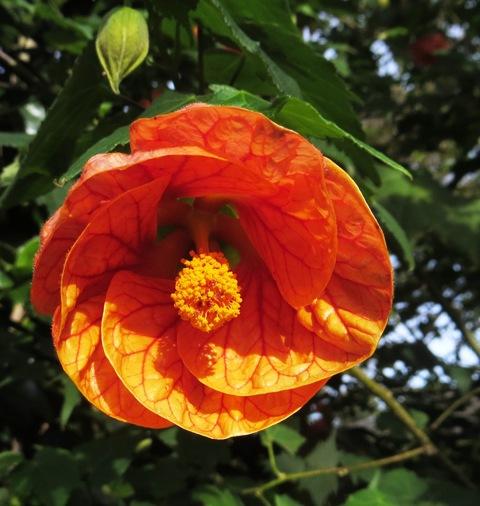 abutilons  chinese lanterns for year round colour  gardenezi, Beautiful flower