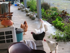 Say hello to the chooks and admire the pumpkins