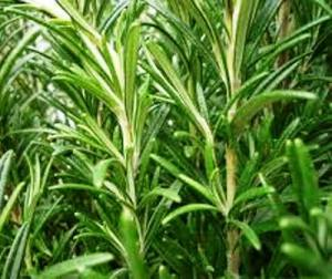 """Rosemary comes in various forms today; some have bright green leaves while others have the traditional grey-blue foliage.  This has the most flavour and comes from """"hardening"""" the plant with full sun exposure and a low water regime.  Regular watering and part-shade will produce a softer, greener foliage with reduced flavour."""