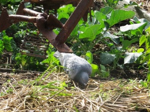 Pigeons, like humans, seek refuge in the garden from the busy streets beyond