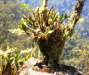King orchid growing in its natural habitat, high on a mountainside overlooking a ravine.  here it gets its moisture from summer rains and frequent mist.  An epiphytic plant like this won't thrive with its roots in deep soil - such as a pot.