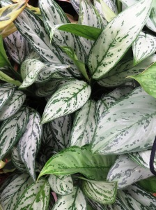 Aglaonema - these plants come in a range of subtly-patterned leaves, mostly in greens and silvery-greys