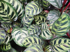 Calatheas have leaves with fascinating patterns...
