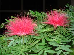 ...and so is this Calliandra