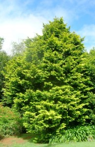 Coniferous trees require no work but choose those that suit the size of your garden