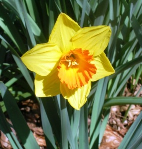 Bulb plants like this daffodil are easier than they look, once planted