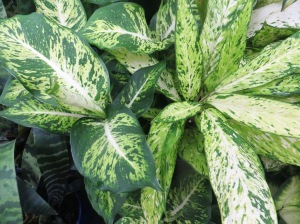 Dieffenbachias are tough performers - but the leaves are toxic (though not palatable!)