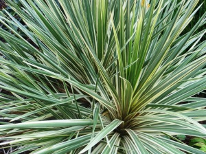 Dracaena (the Dracaena marginata varieties are prettiest) is as good indoors as out, if given bright light