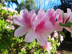 Azaleas are beautiful and popular but need a lot of care - big old Indica varieties are the easiest.