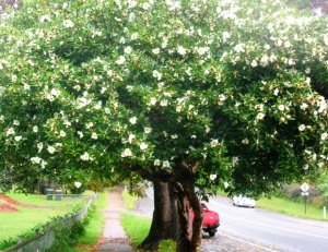 Gordonia is an excellent small tree