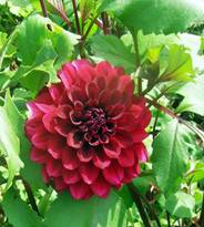 Dahlias are among the easiest flowers to grow
