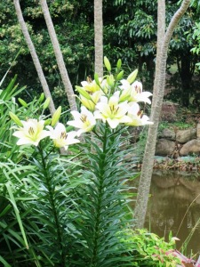 ...and this tough Oriental Lily