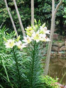 Oriental Lily1 - Copy