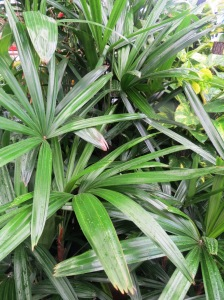 The elegant Lady Palm (Rhapis exelsa) - always a favourite indoors.