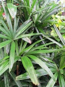 The elegant Lady Palm (Rhapis exelsa) - always a favourite indoors.