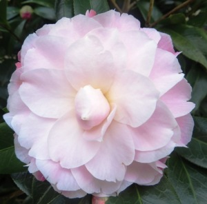 ...while Camellias are a great choice for just about any except the very driest and coldest climates