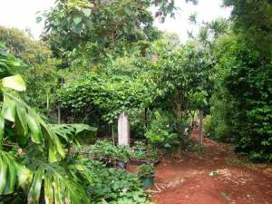 Permaculture gardens are like edible jungles