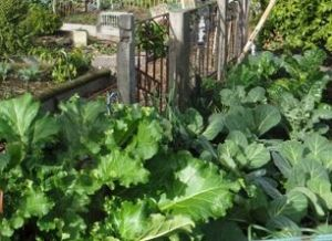 The result is lots of healthy vegies, in soil that is always being replenished the natural way