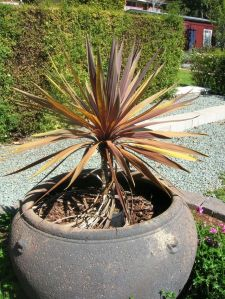 Cordyline2 - Copy