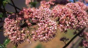 Pink Euodia