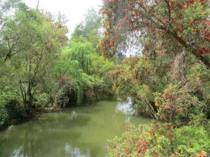 Scarlet callistemons all along the banks of Burnett Creek as far as the eye could see