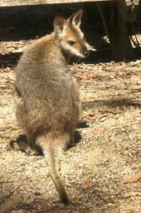 wallaby-2